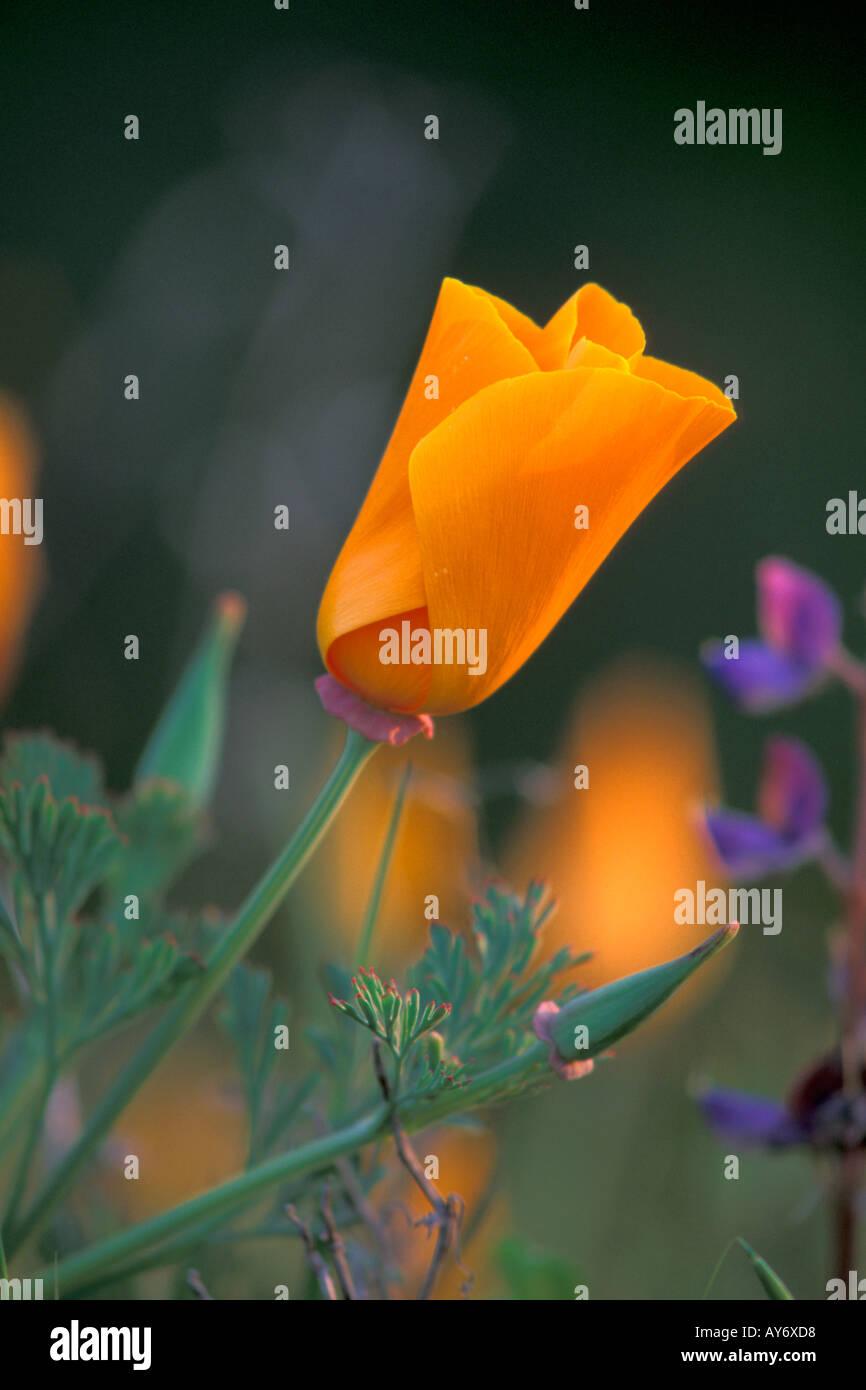 California Golden Poppy State Flower Wildflower In Spring In Stock