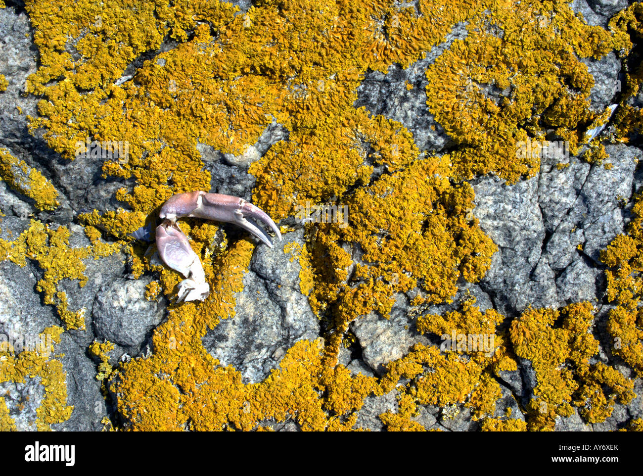 A crab claw has been left by seagulls on lichen-covered granite of a small island, Bohuslan, Sweden - Stock Image