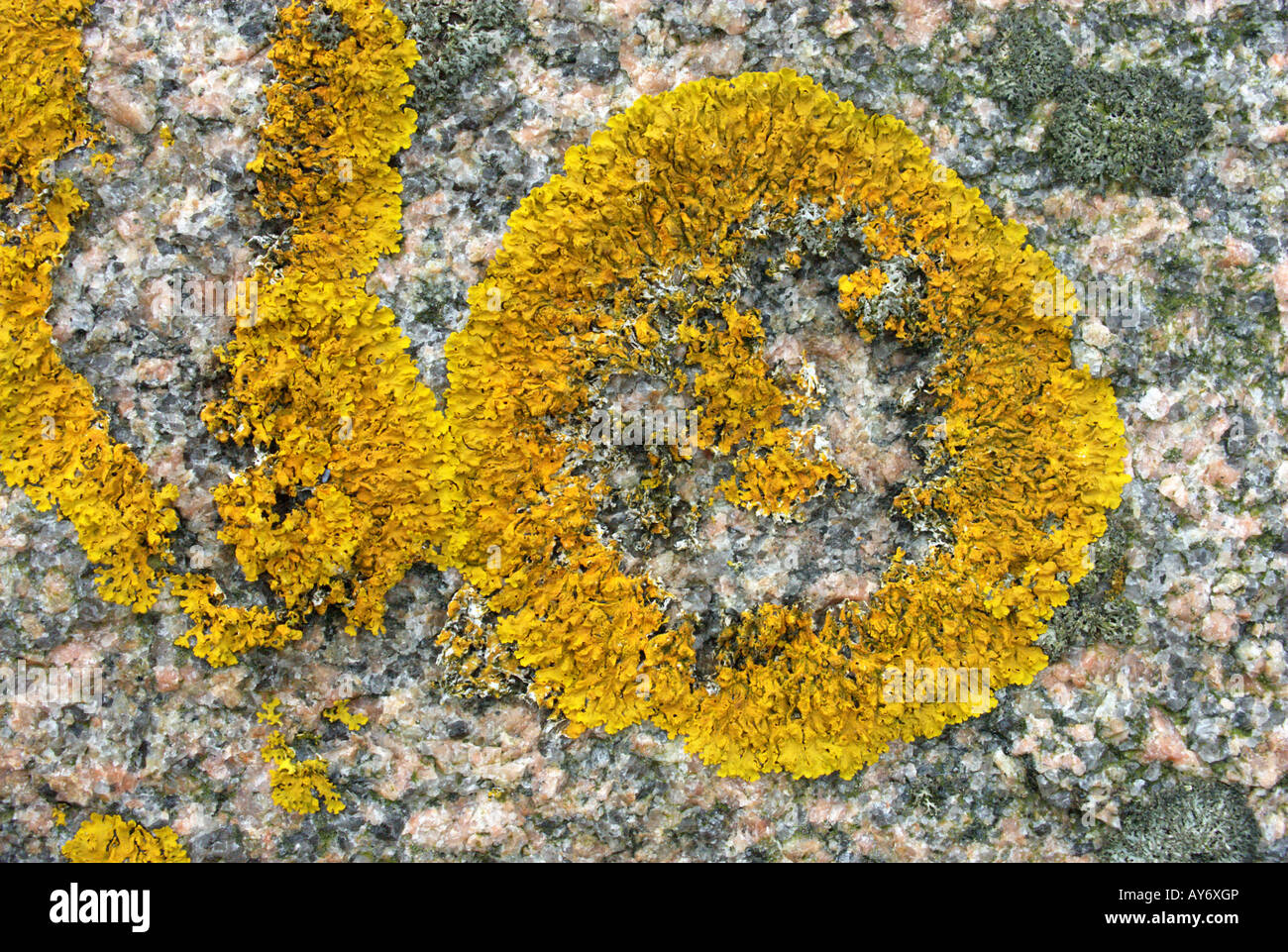 Xanthoria parietina with missing thallus (orange lichen) thrives on granite fertilized by bird droppings, west coast - Stock Image