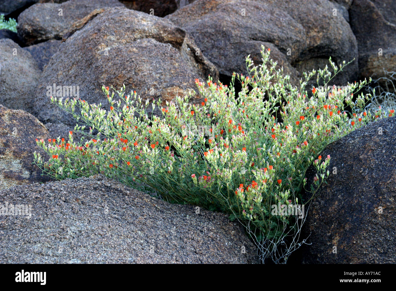Apricot mallow Sphaeralcea ambigua and rocks at Joshua Tree National Park - Stock Image