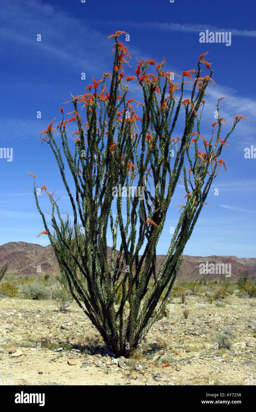 Ocotillo plant Fouquieria splendens at Joshua Tree National