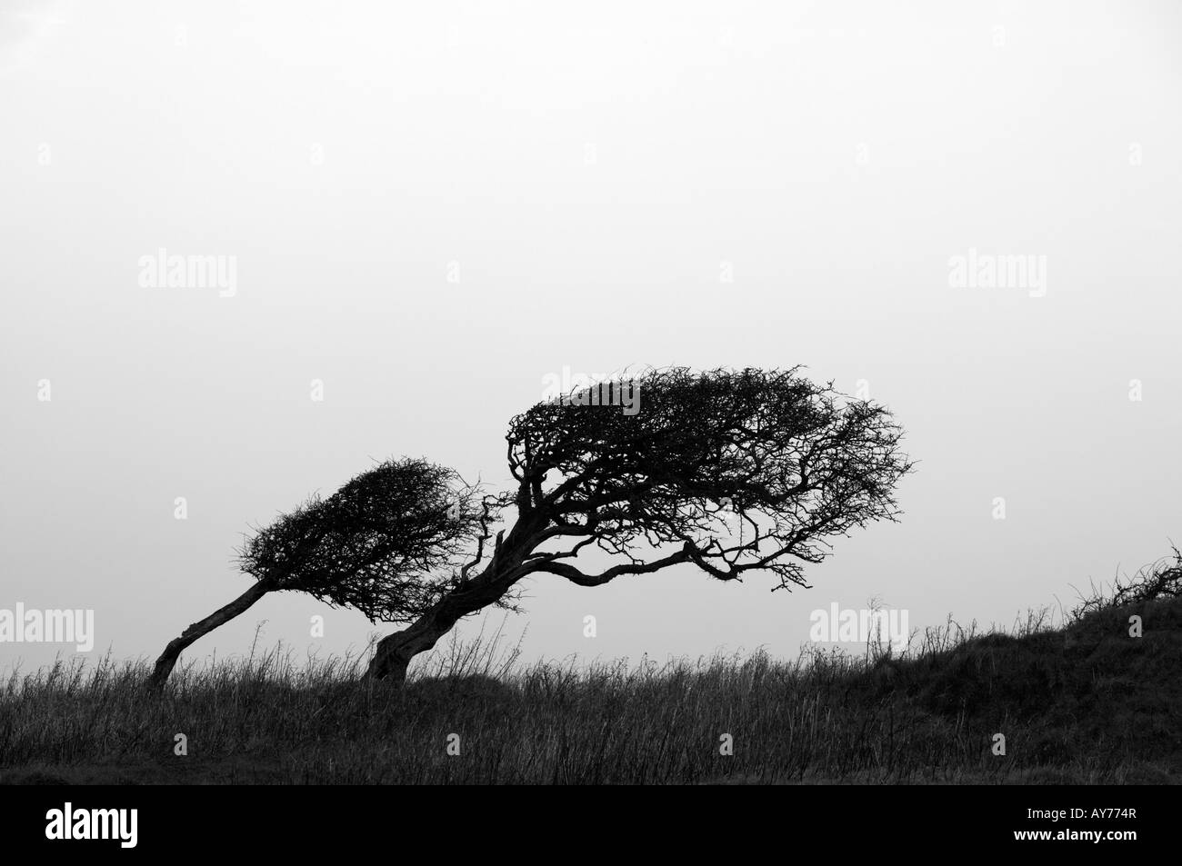 Silhouette of wind blown hawthorn tree on skyline, Dorset, England, UK - Stock Image