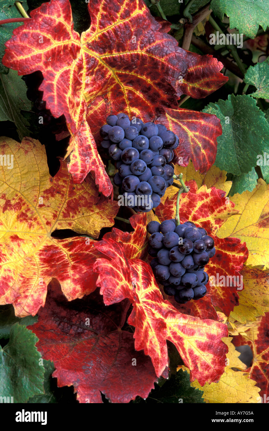 colorful cabernet grapes with leaves in fall colors ready for ...