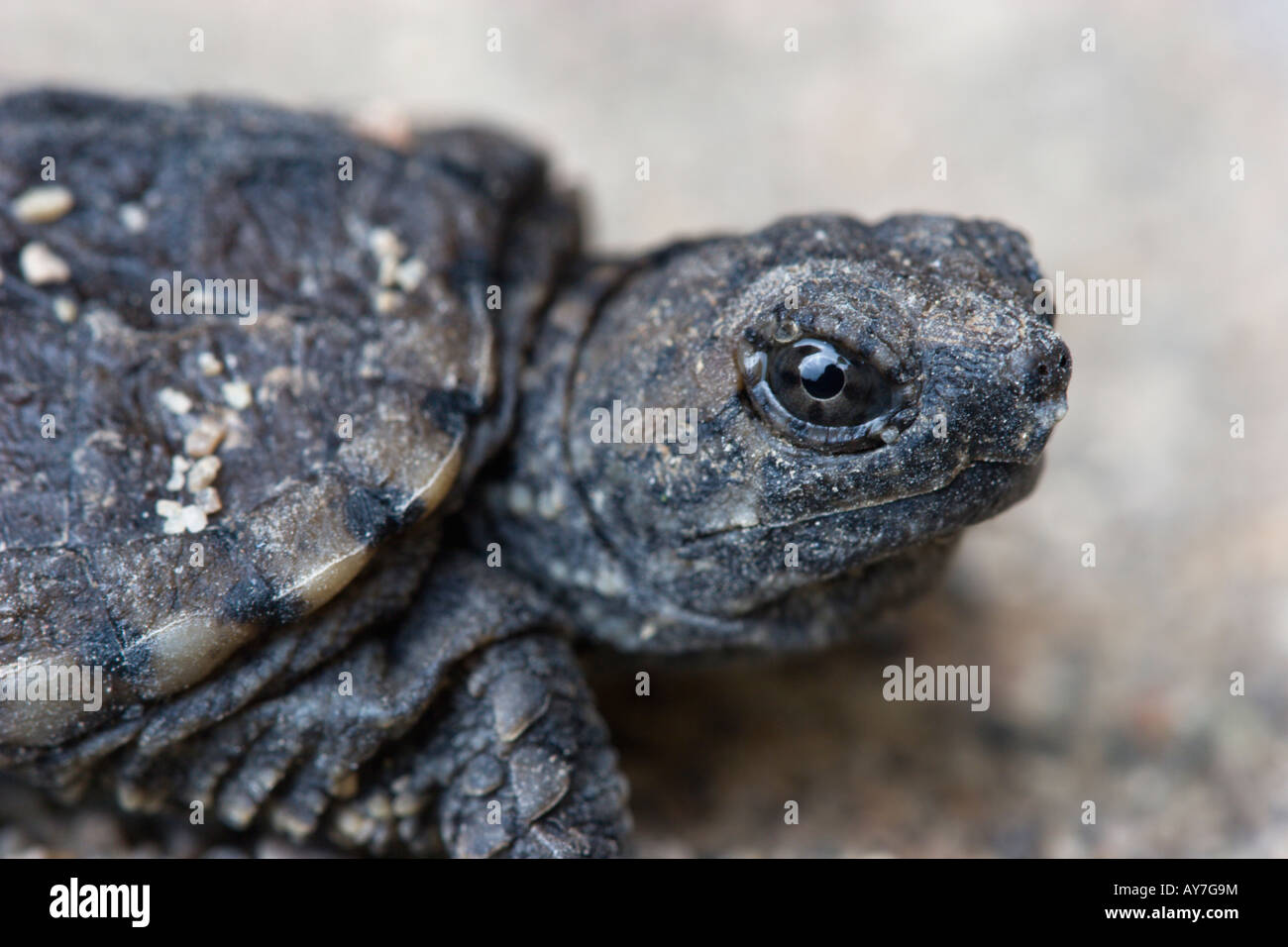 baby snapping turtle Stock Photo