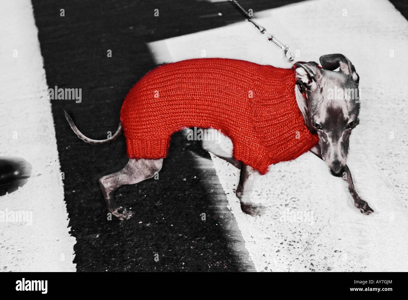 Pampered Manhattan Dog Crossing Street - Stock Image