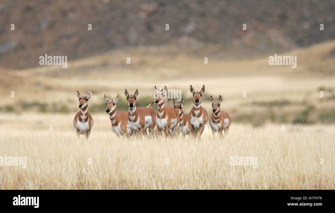 A small group of pronghorn antelope in Yellowstone National Park, Wyoming, USA. - Stock Image