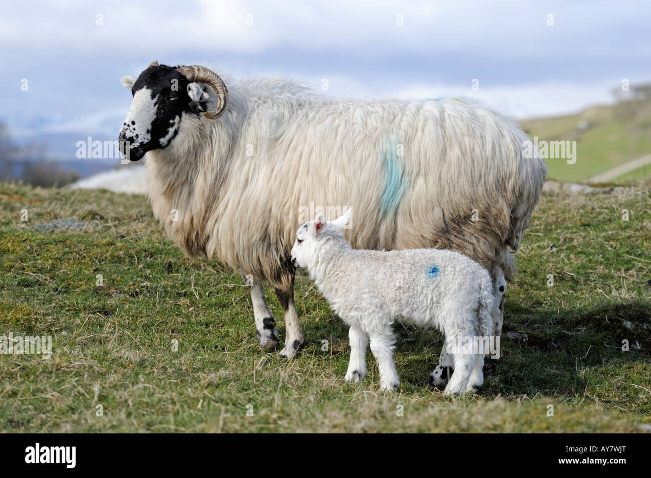 Swaledale ewe with Lamb . Crook Hall Farm . Lake District National Park , Cumbria , England , United Kingdom , Europe - Stock Image