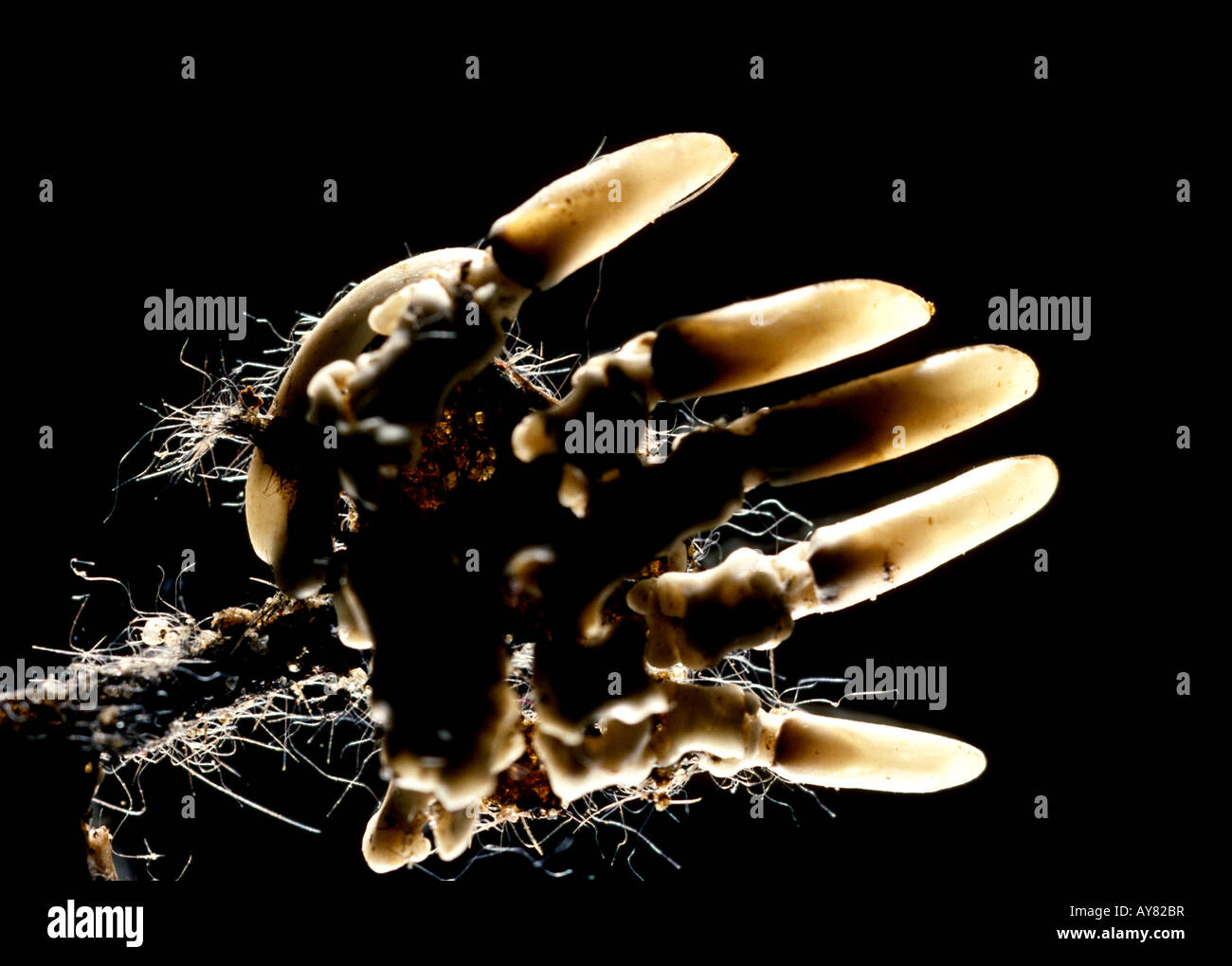 Mole foot skeleton - Stock Image