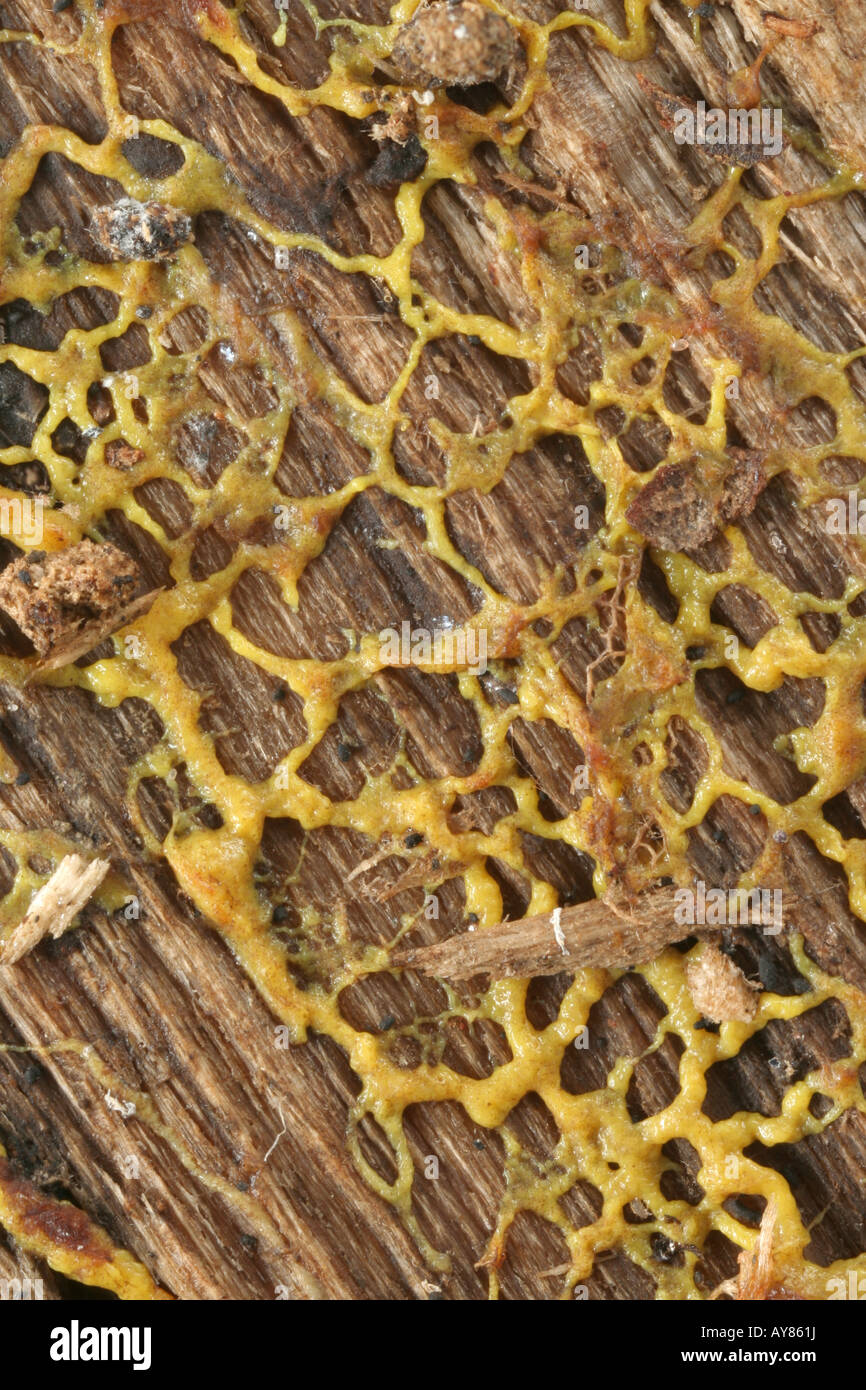 Plasmodium of a plasmodial slime mold - Stock Image