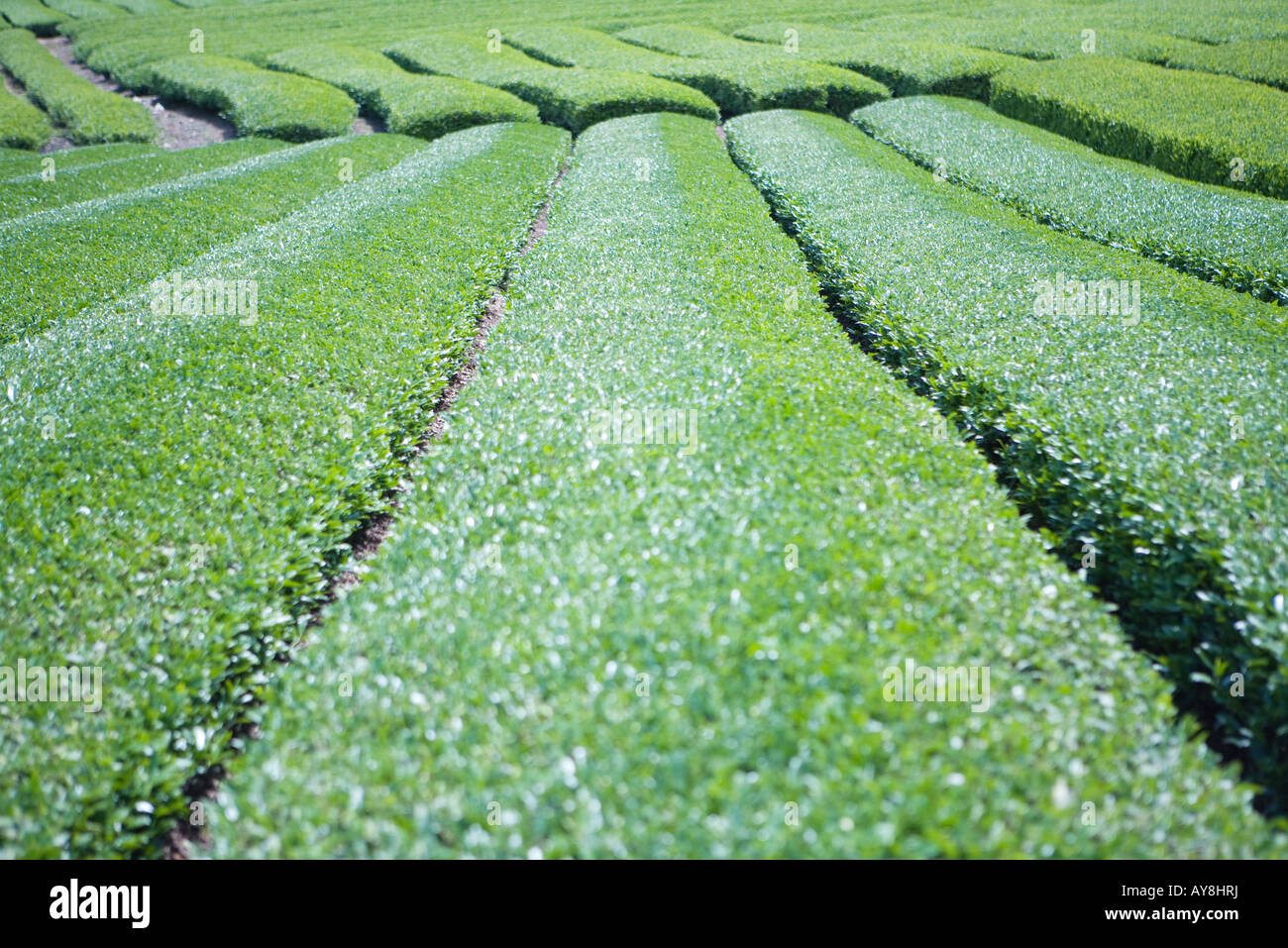 Hedges in Japanese ornamental garden, close-up - Stock Image