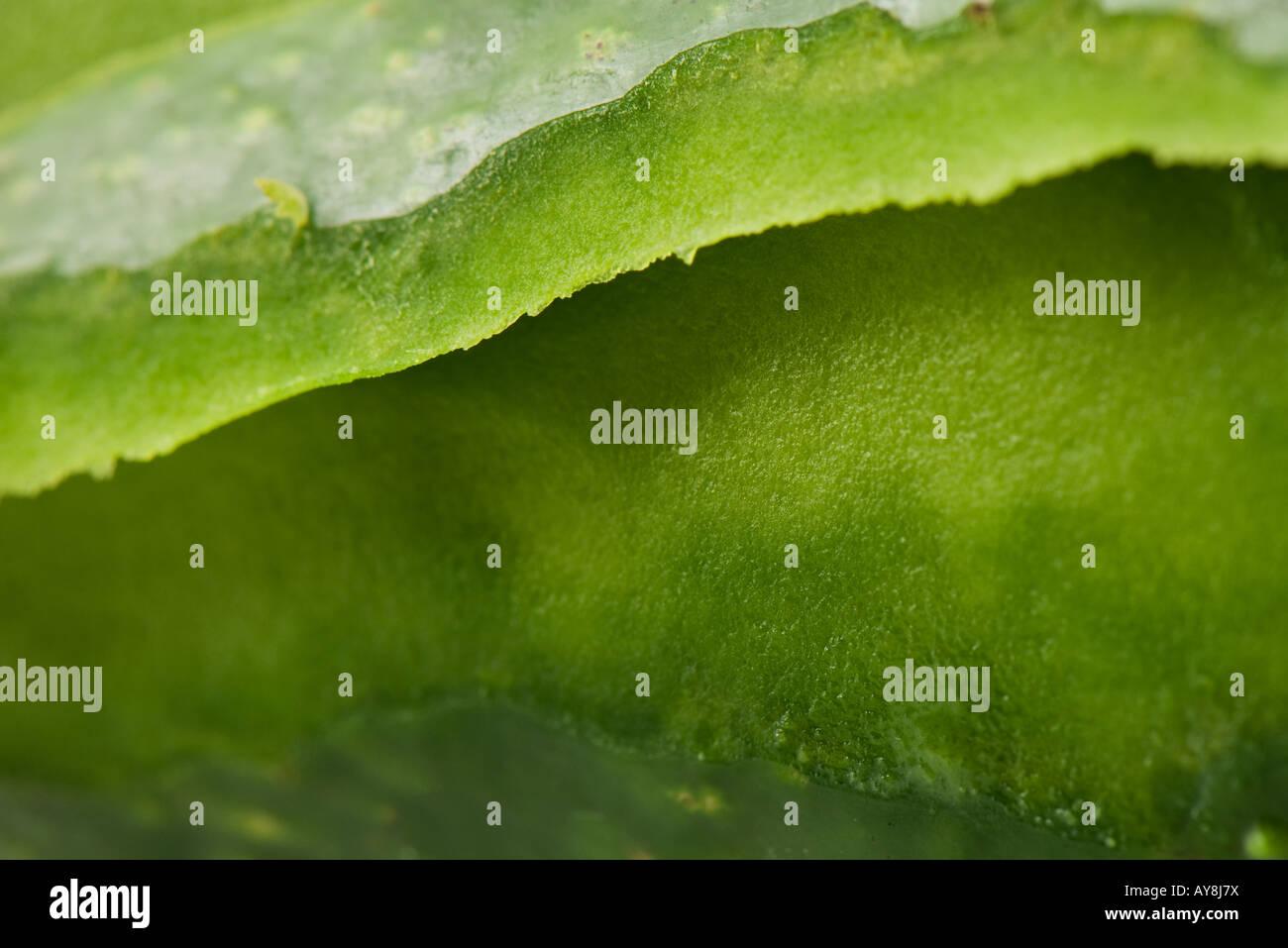 Aloe vera, extreme close-up, full frame - Stock Image