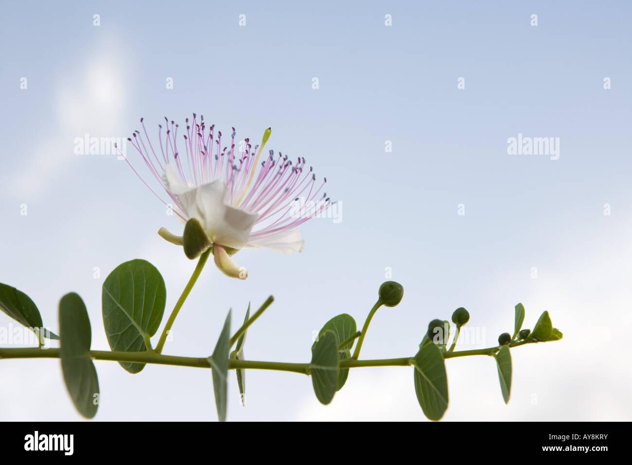 Eucalyptus branch in flower - Stock Image