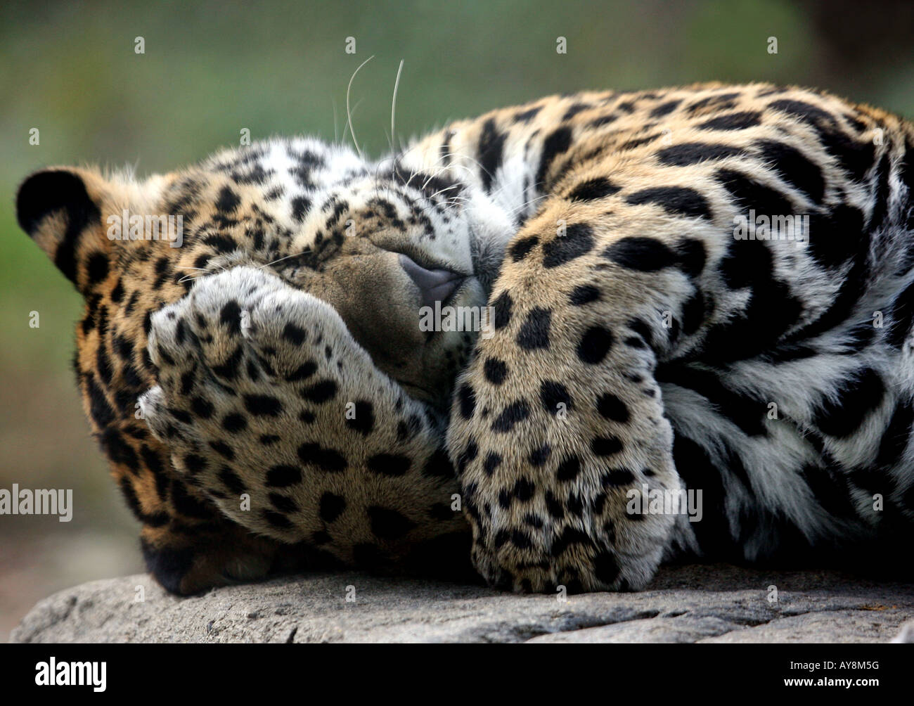 A baby jaguar uses its paw to cover its face at the Stone Zoo. - Stock Image