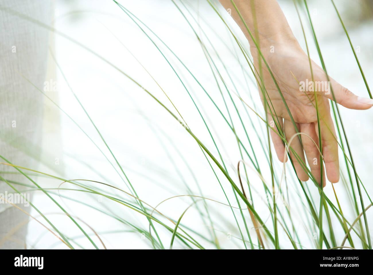 Hand touching dune grass, close-up - Stock Image
