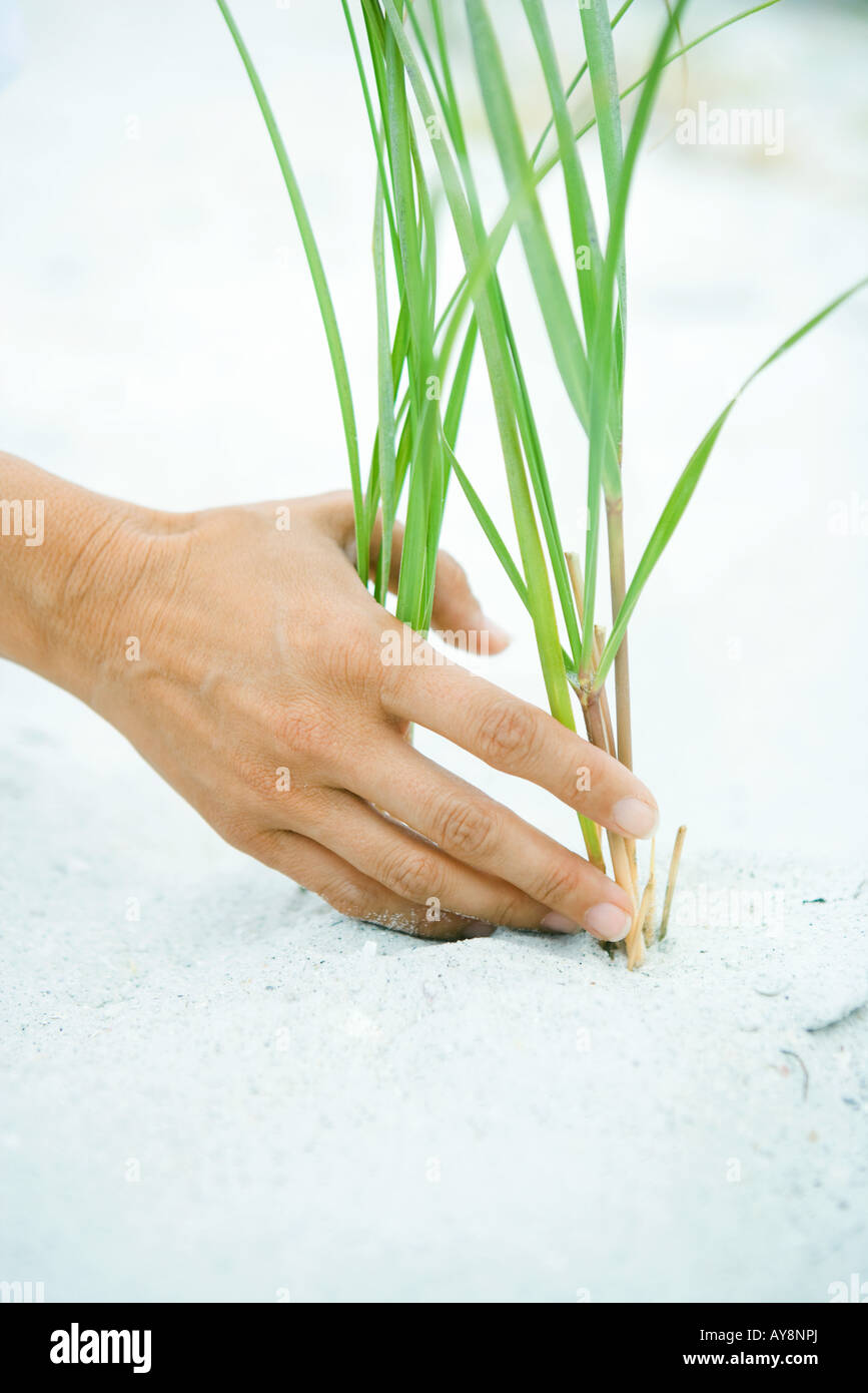 Hand touching dune grass growing in sand, close-up - Stock Image