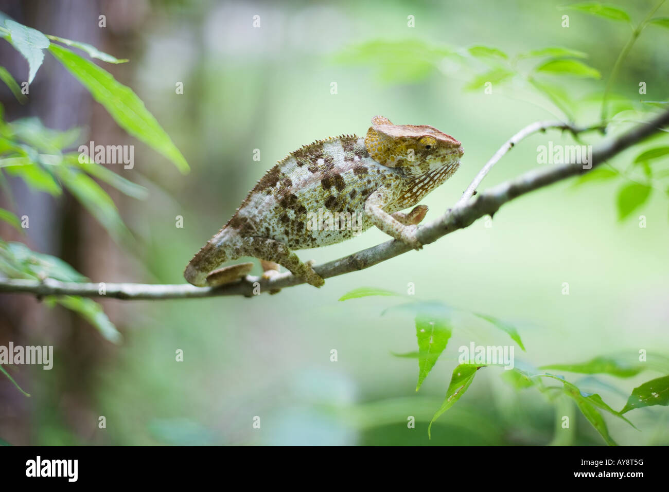 Chameleon resting on branch, side view - Stock Image