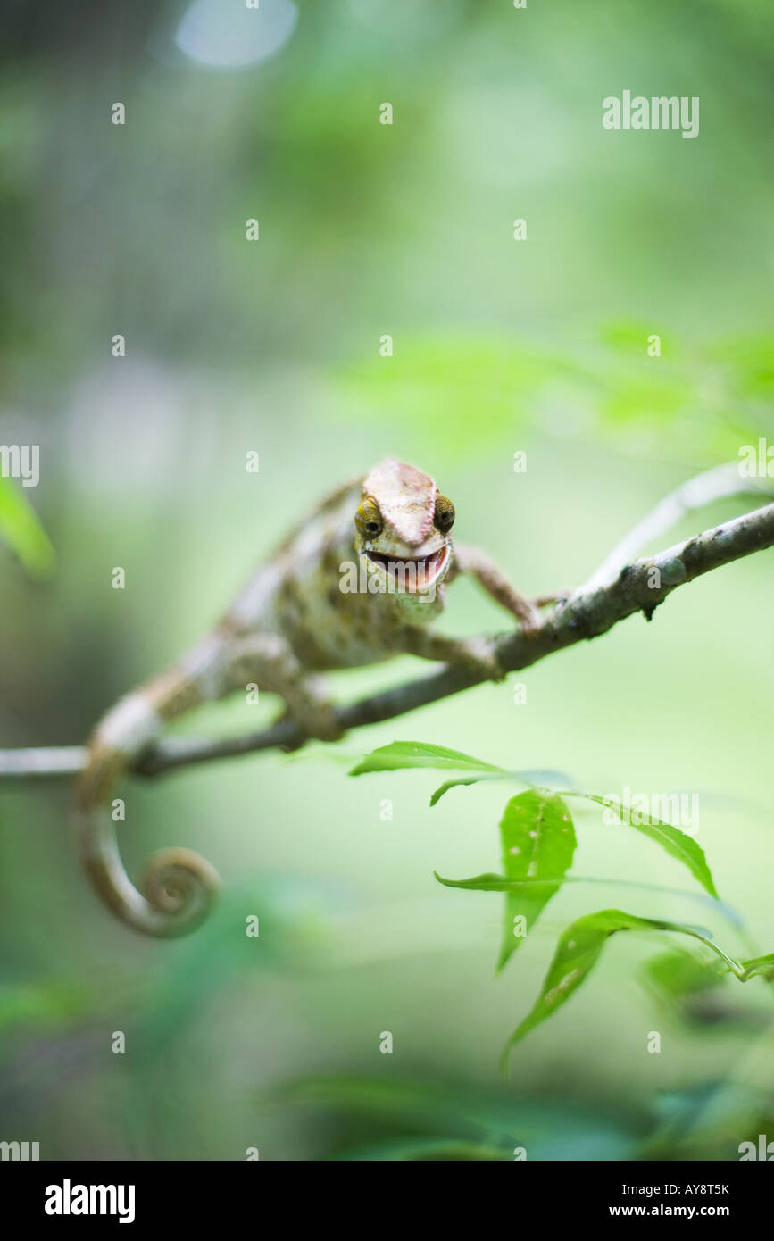 Chameleon resting on branch, looking at camera - Stock Image