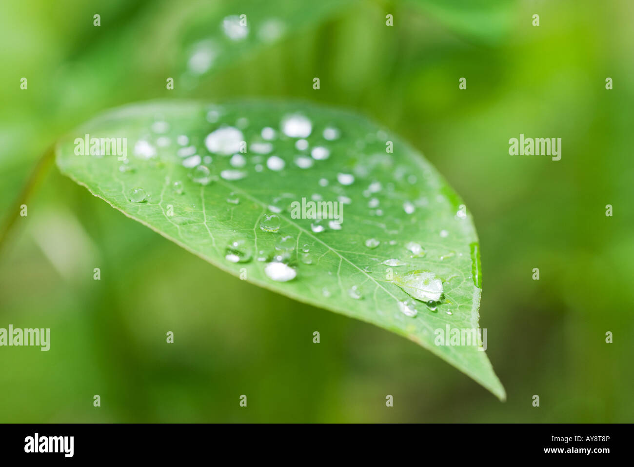 Dew drops on leaf, extreme close-up - Stock Image