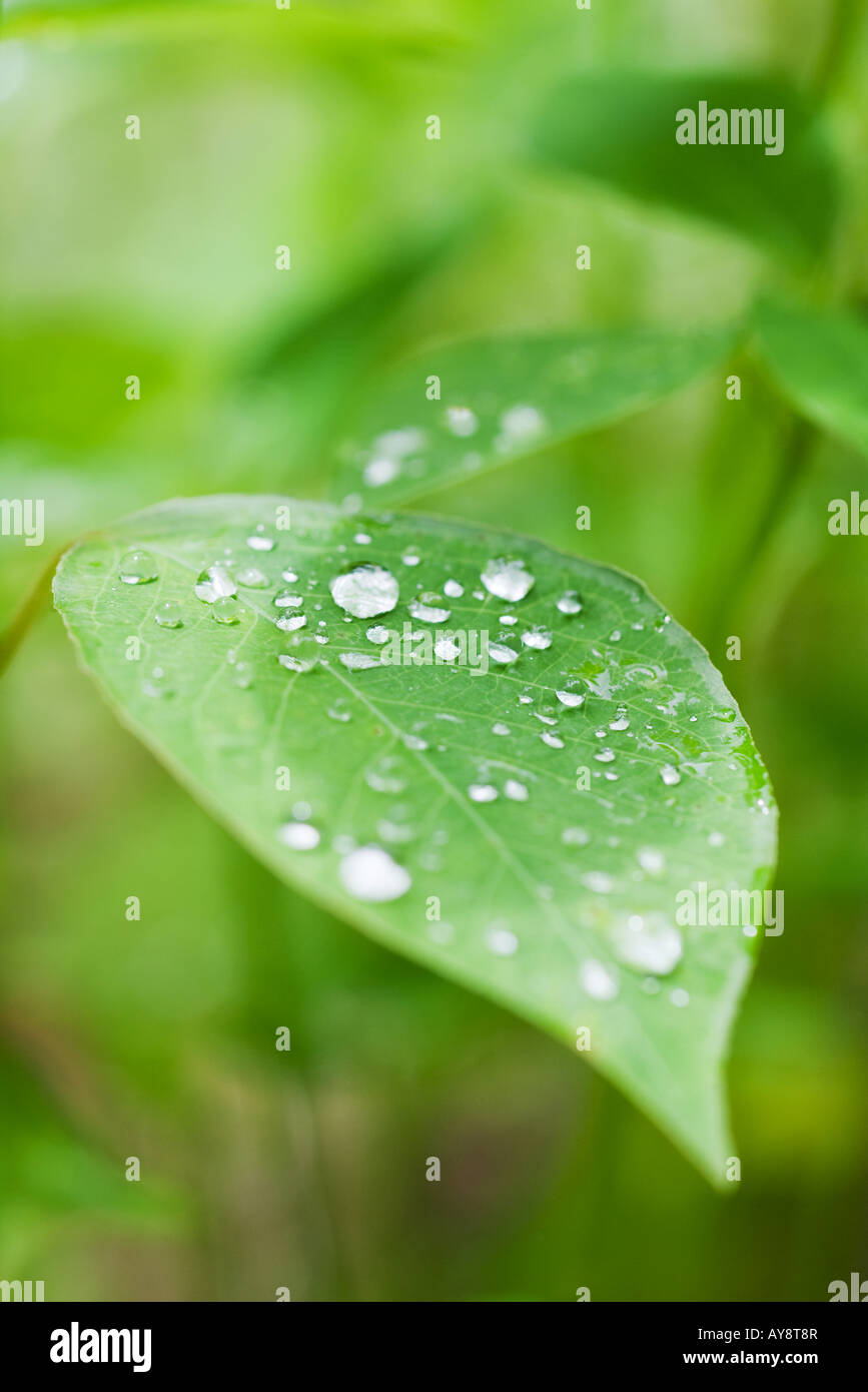 Dew drops on leaves, extreme close-up - Stock Image