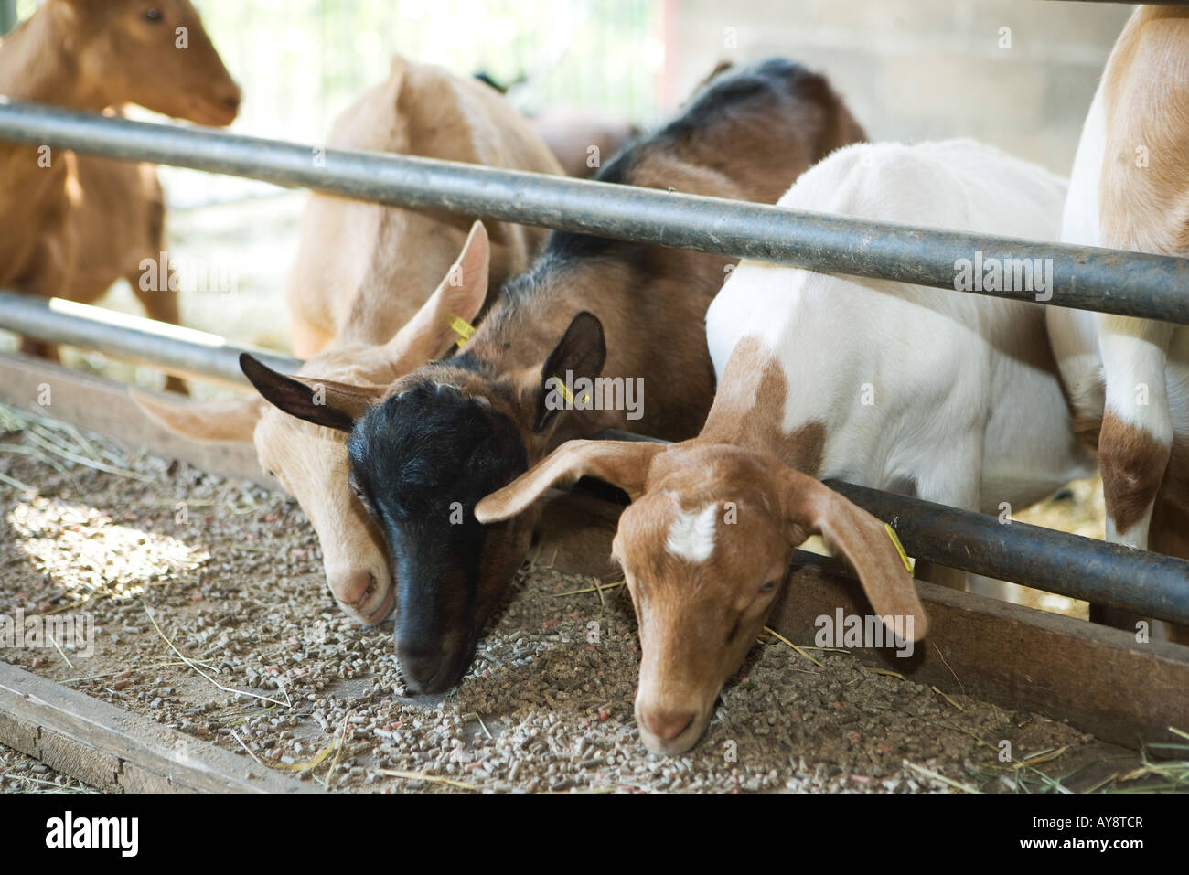 Goats reaching through railing, eating out of trough - Stock Image