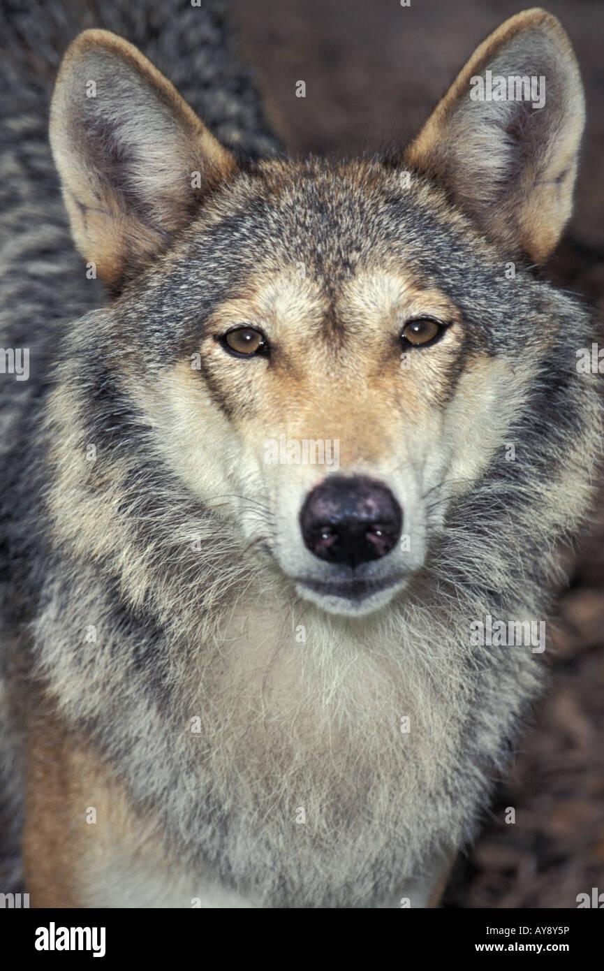 louve Quebec Canada Wolf Canis lupus portrait Amos canada canis lupus mammal nature portrait Quebec snow winter - Stock Image