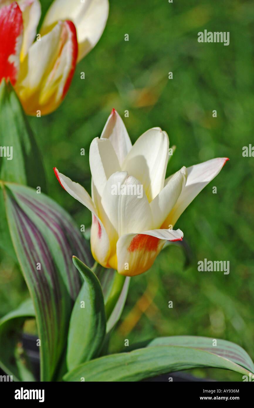 Tulipa 'Johann Strauss' Stock Photo