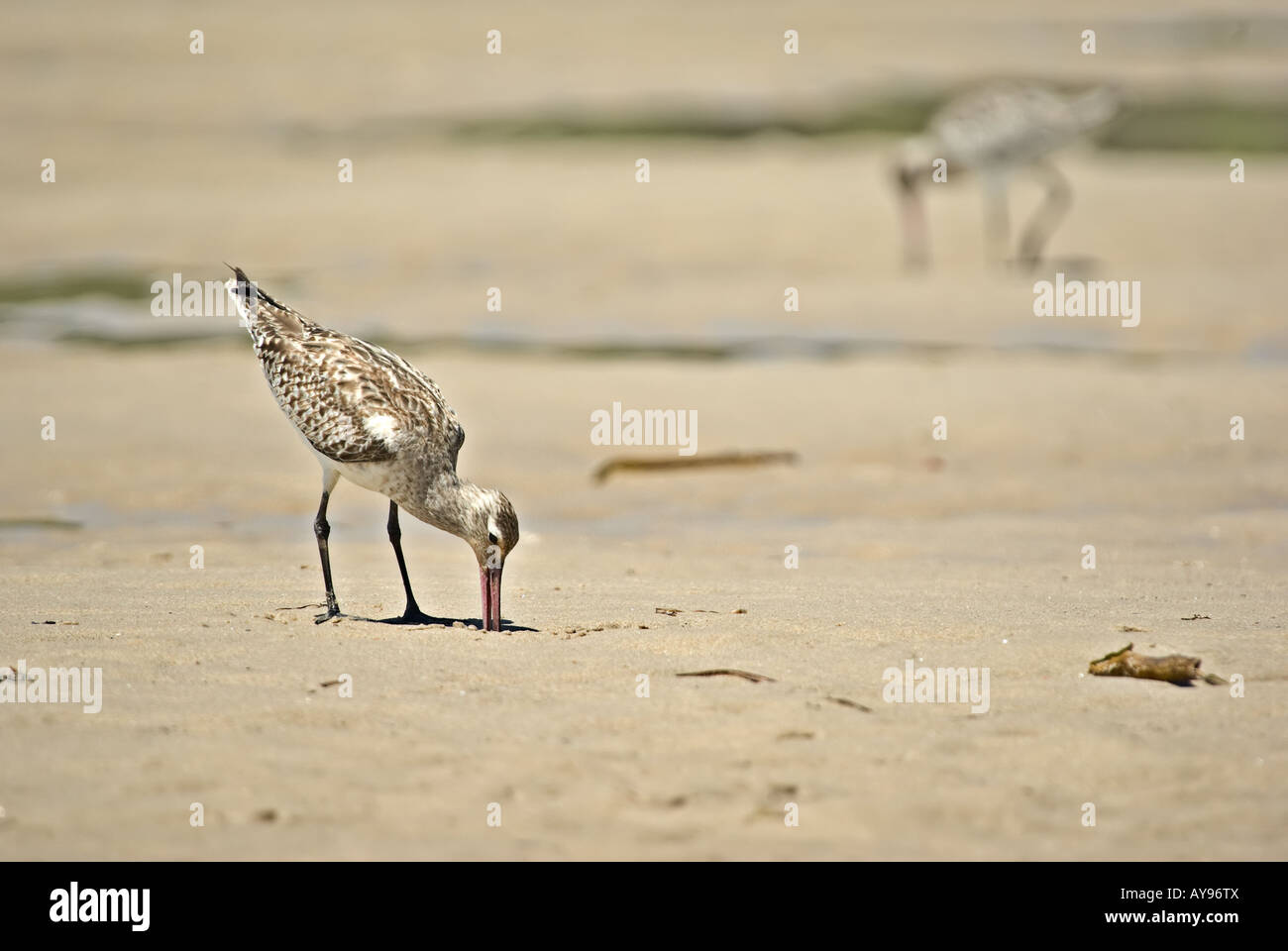 sand piper digs for food at the beach - Stock Image