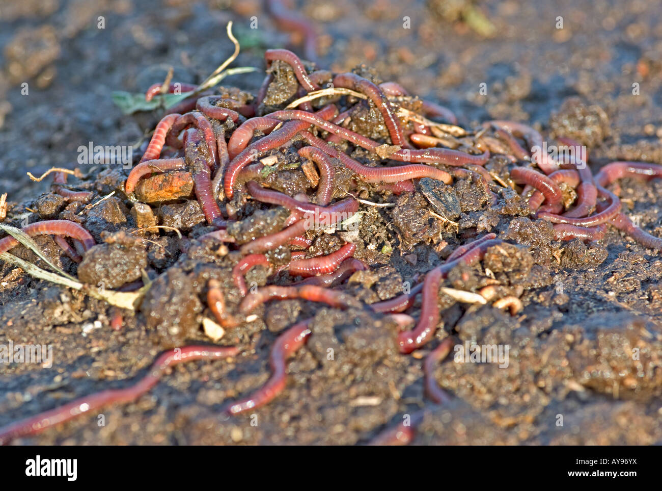 large pile of garden or compost worms - Stock Image