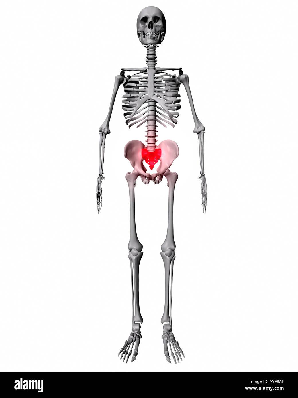 Sacrum highlighted red on skeleton stock photo 1808558 alamy sacrum highlighted red on skeleton ccuart Choice Image