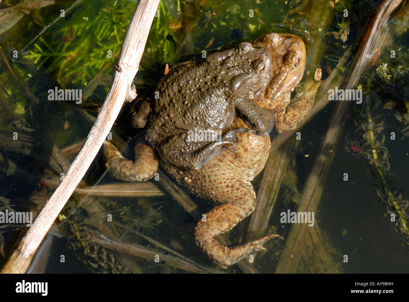 Common European toads Bufo bufo male on top of female during spawning - Stock Image