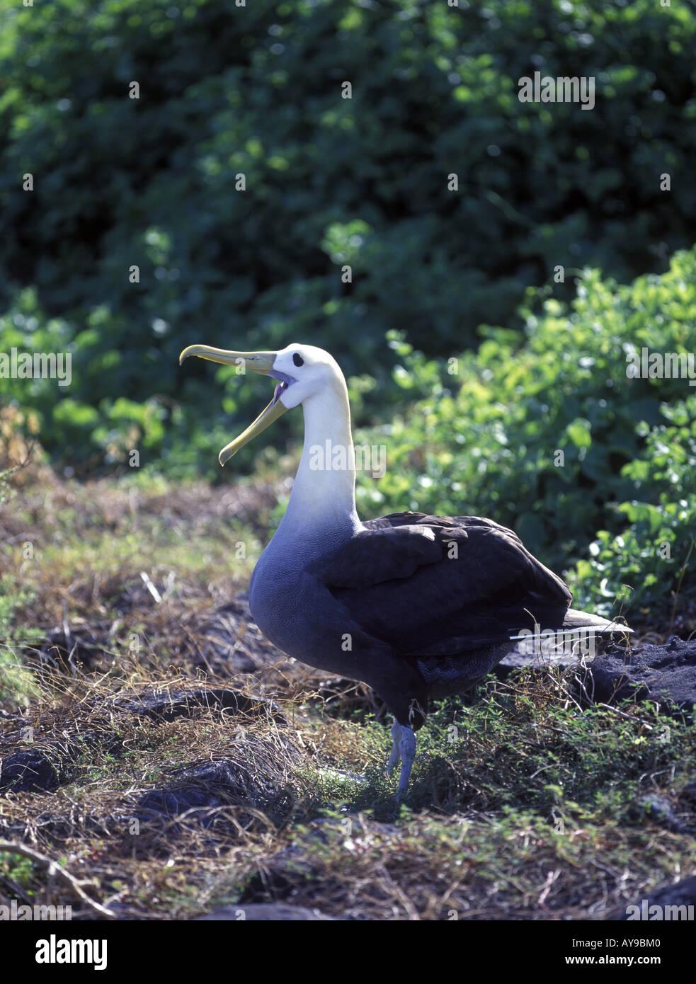 Waved Albatross Diomedea irrorata Calling Espanola Island Galapagos 250th f4 300mm - Stock Image