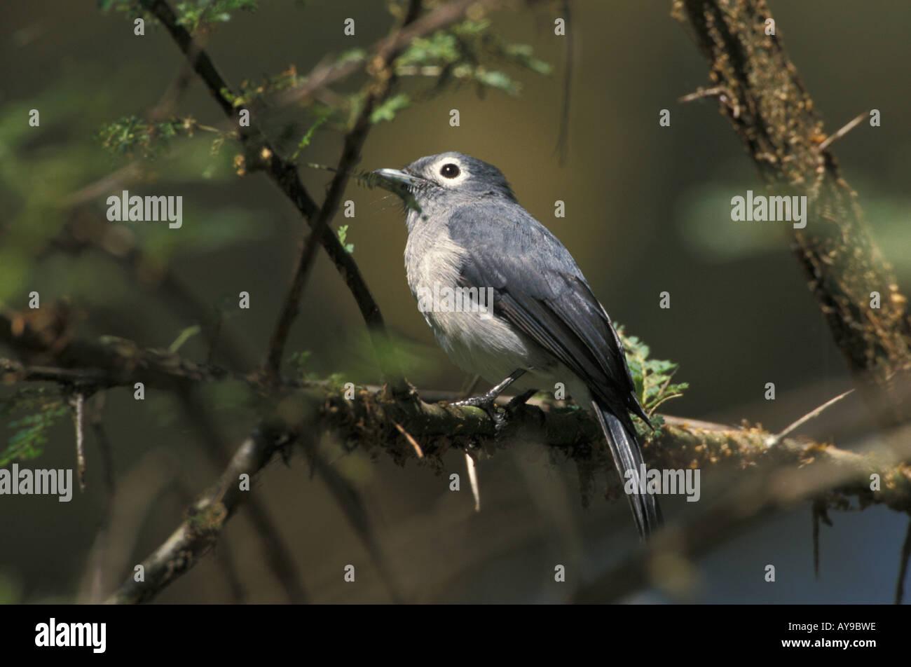 White eyed Slaty Flycatcher Melaenornis fischeri Kenya - Stock Image