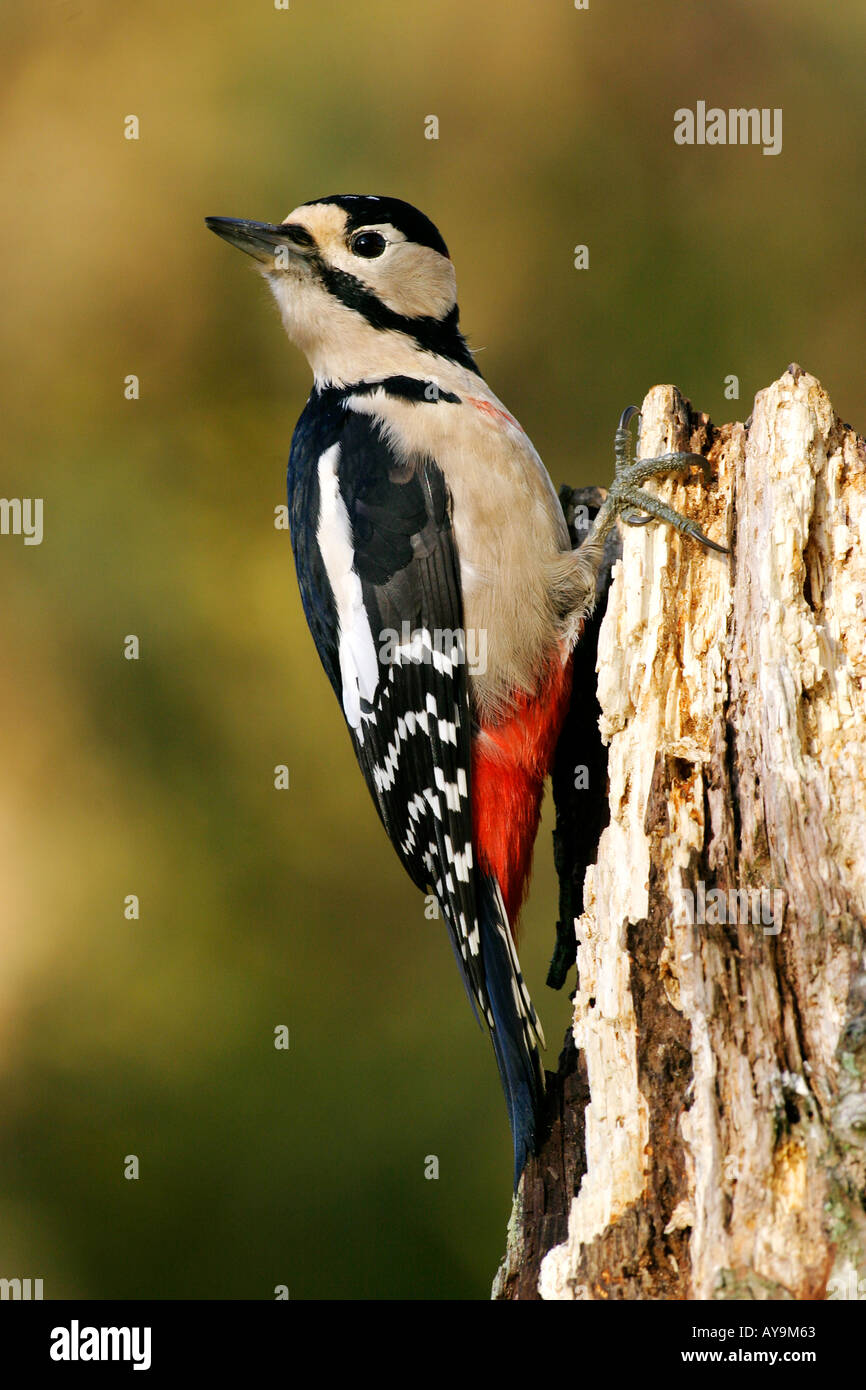 GREAT SPOTTED WOODPECKER Dendrocopos major - Stock Image