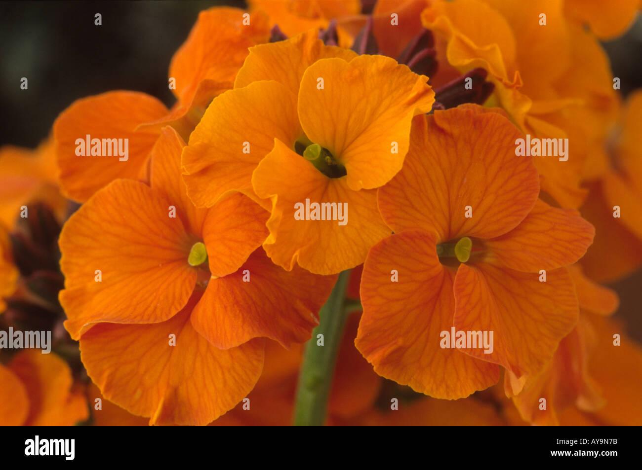 Erysimum 'Apricot Twist'. Wallflower. - Stock Image