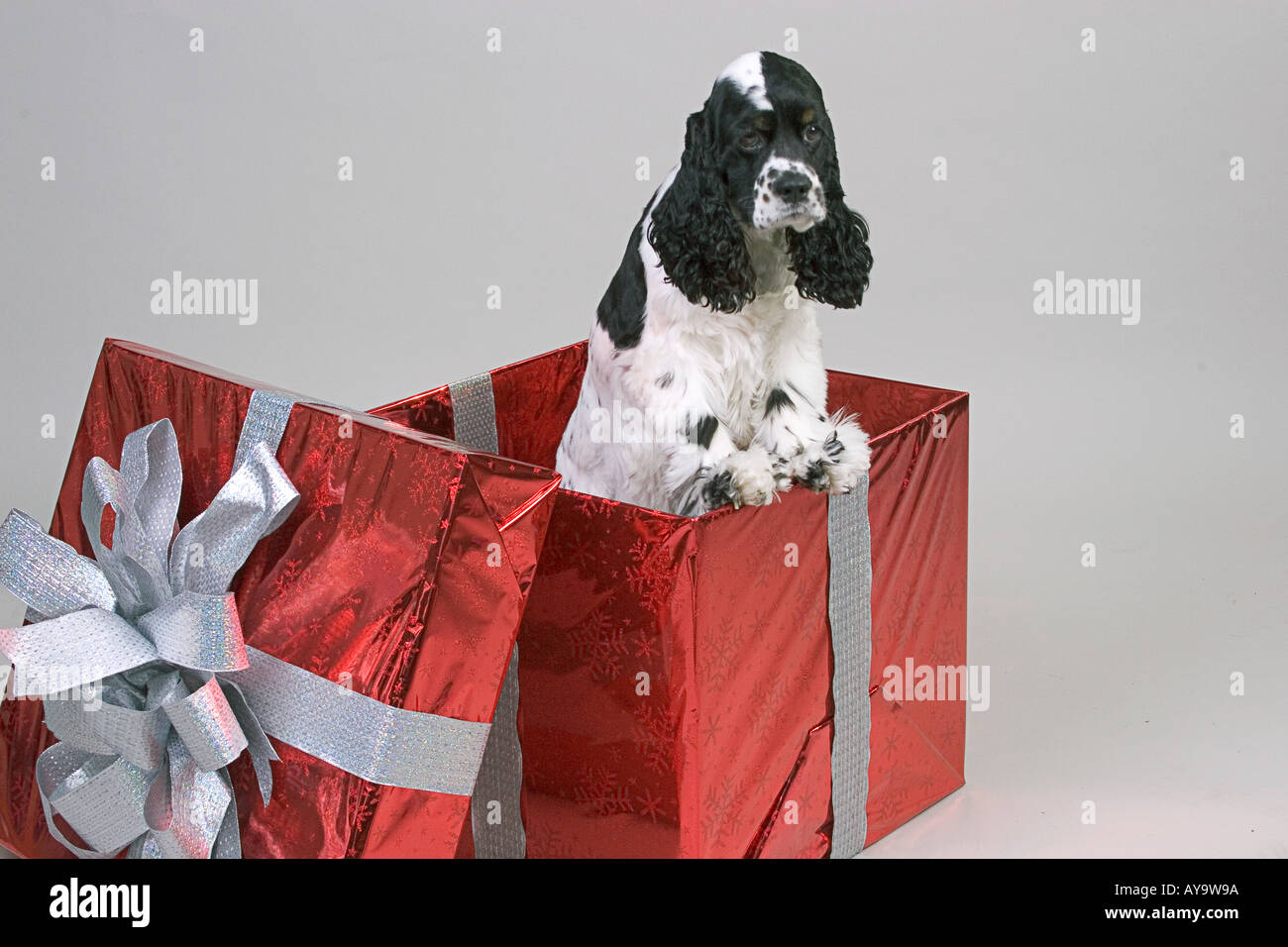 Black and white cocker spaniel dog in a large red gift box against a neutral backdrop - Stock Image