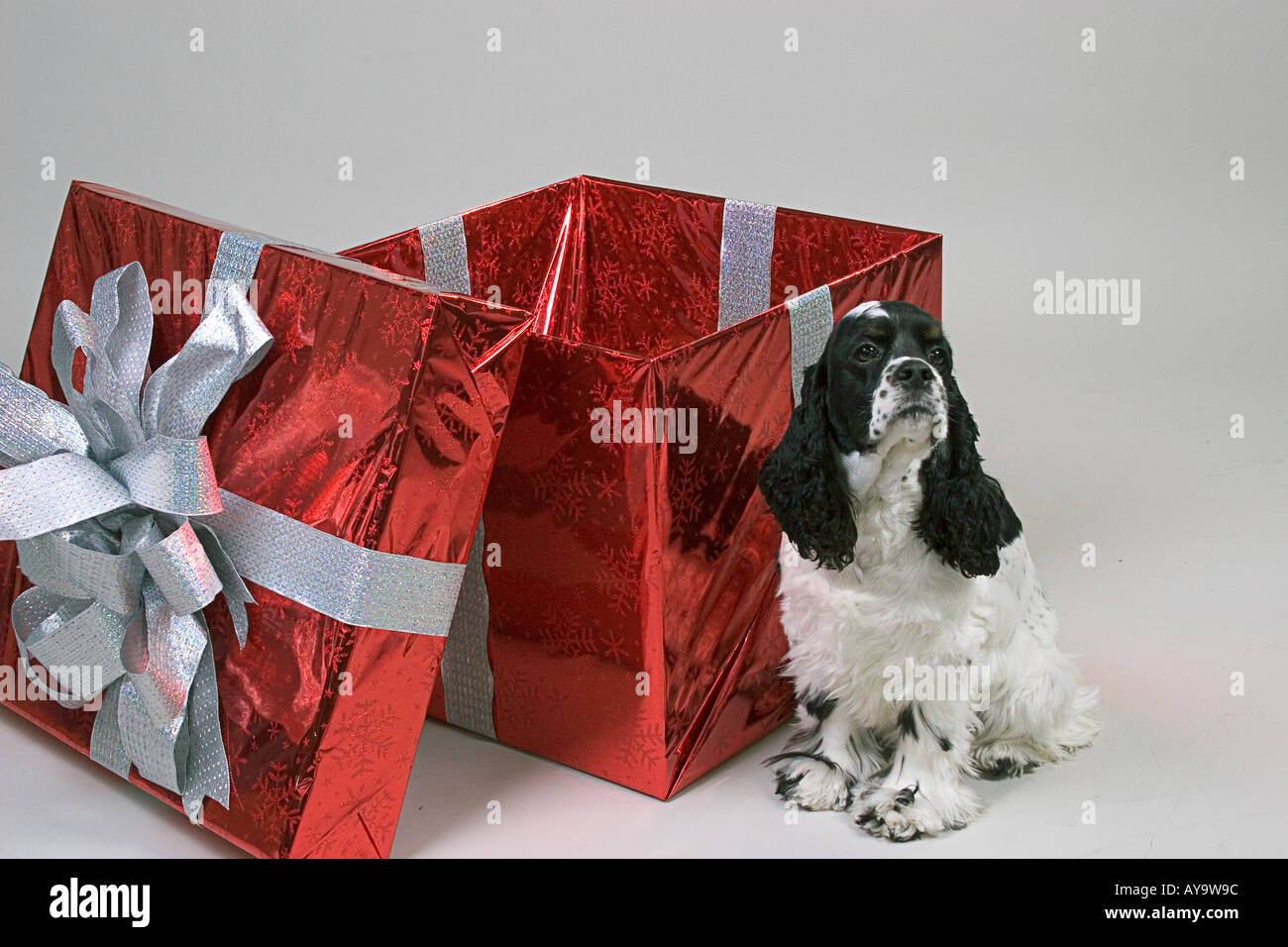 Black and white cocker spaniel dog next to an oversize red gift wrapped box all against a neutral backdrop - Stock Image