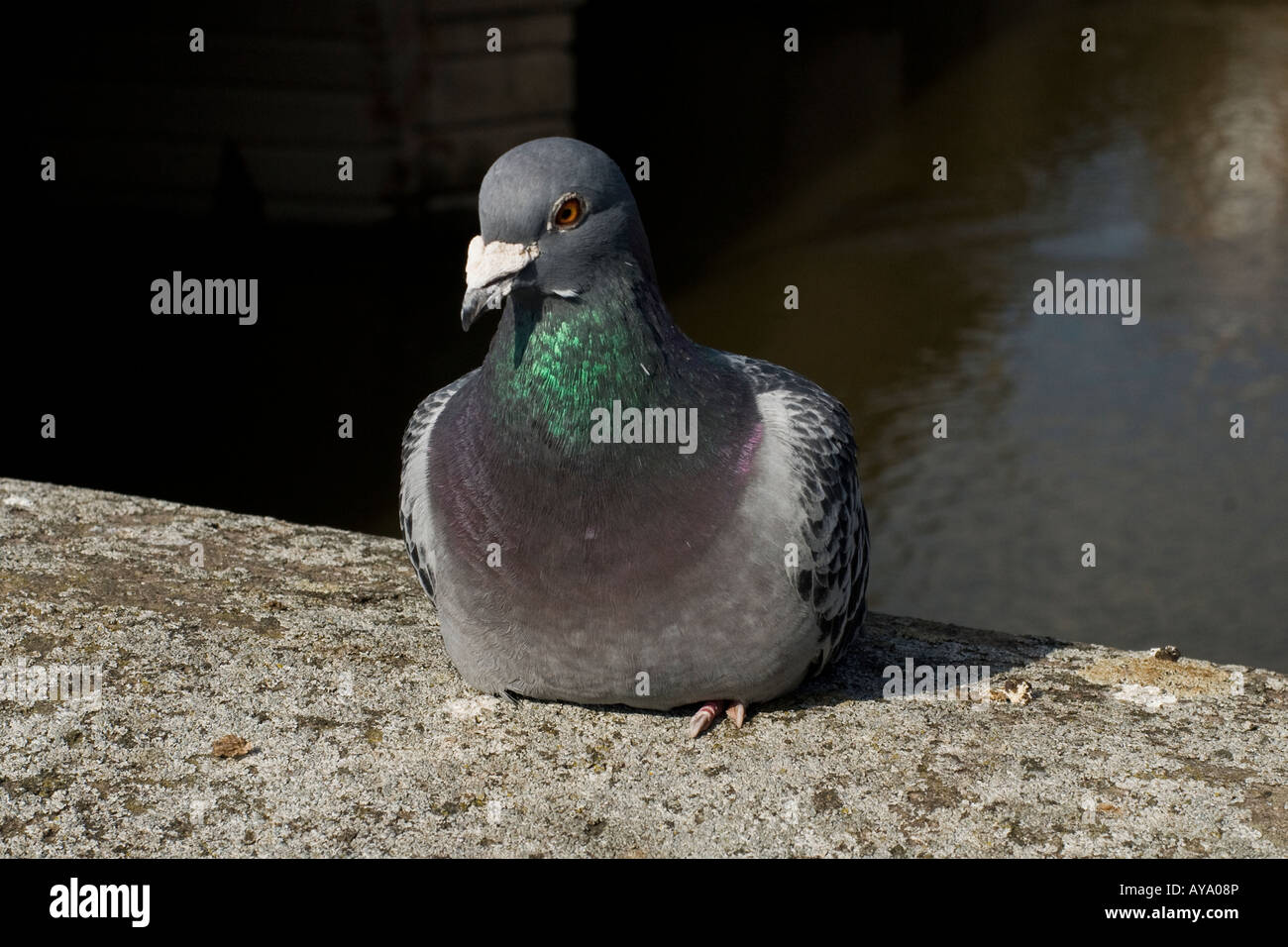 A common pigeon sat on a wall in front of river - Stock Image