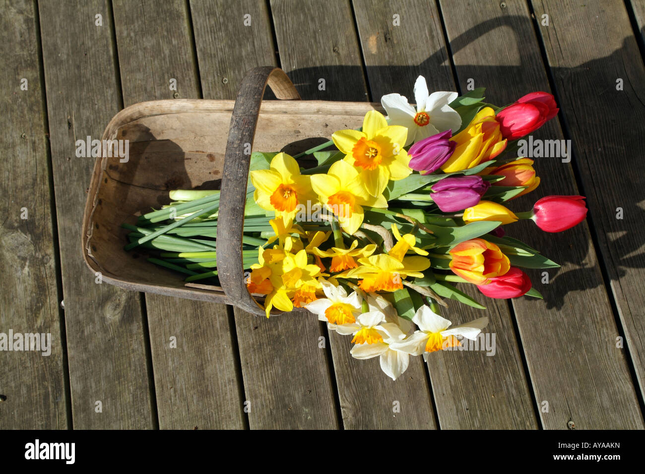 Spring Cut Flowers in a Wooden Garden Trug in an English Country ...