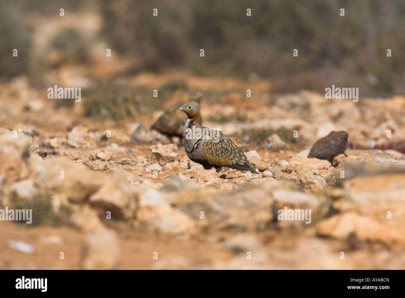 Black-bellied Sandgrouse Pterocles orientalis male standing in in desert near reservoir on Fuerteventura in March - Stock Image