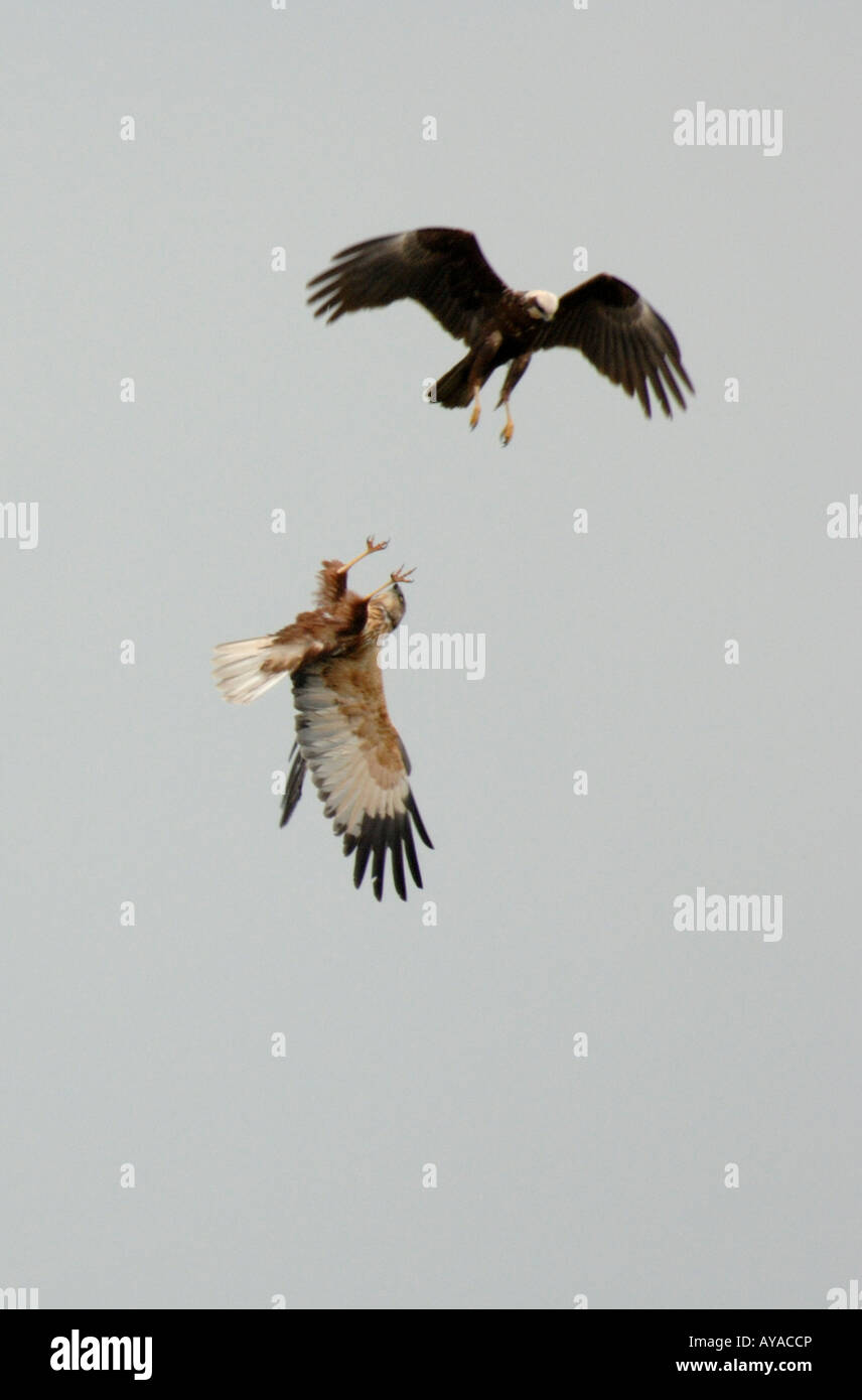 Male and female Marsh Harrier in display flight. Spring. Cambs, England UK Stock Photo