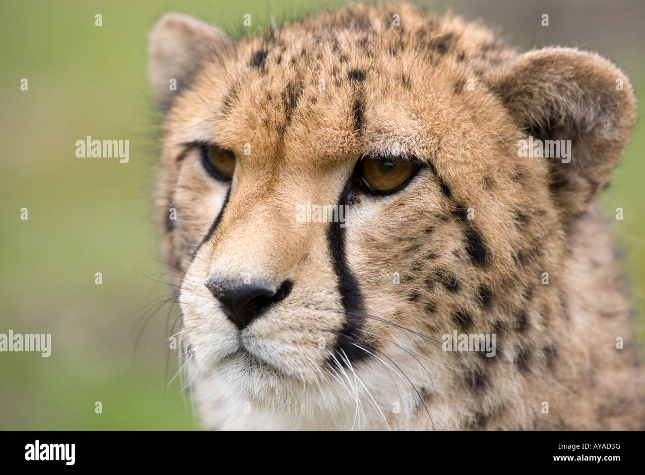 Head of young cheetah - Acinonyx jubatus - Stock Image