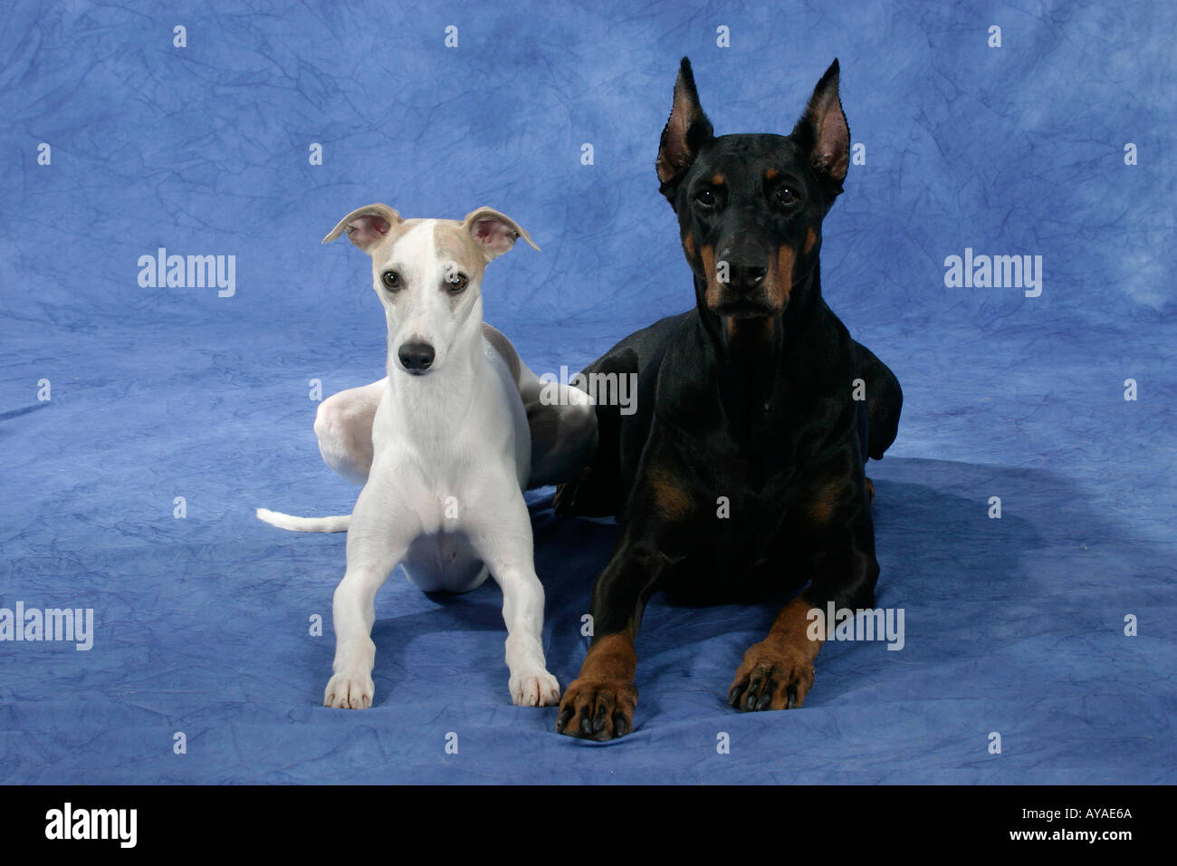 Dobermann Pinscher and Whippet Dobermann und Whippet Saeugetiere mammals animals Haushund domestic dog Haustier Heimtier pet - Stock Image