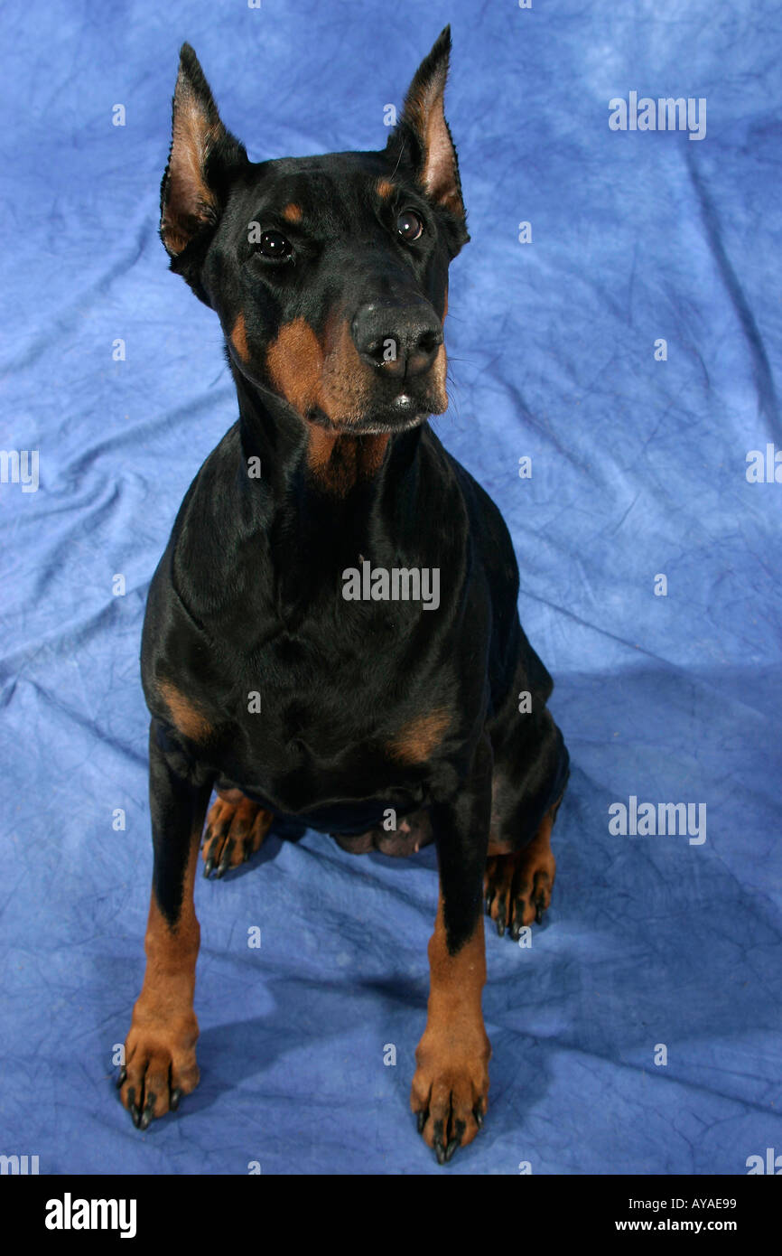 Dobermann Pinscher Dobermann Saeugetiere mammals animals Haushund domestic dog Haustier Heimtier pet Ohren kupiert cropped ears - Stock Image