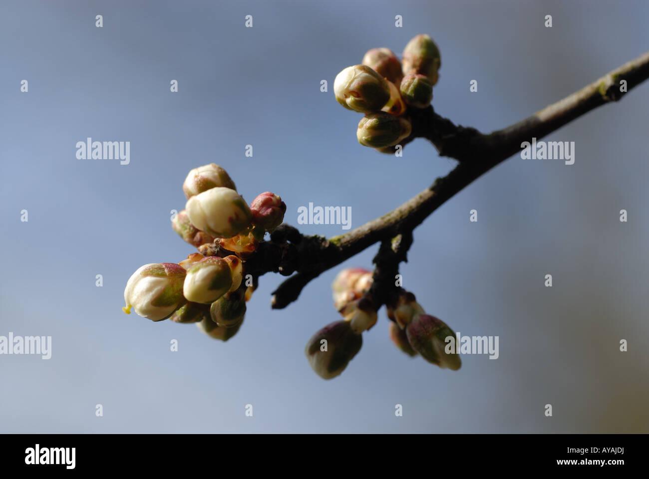 Cherry buds - Stock Image