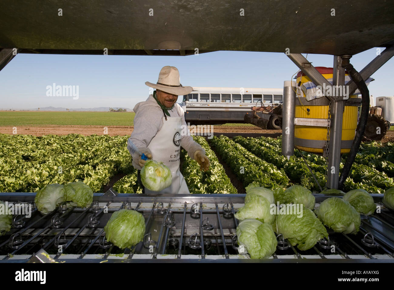 Mexican workers harvest lettuce on Arizona farm - Stock Image
