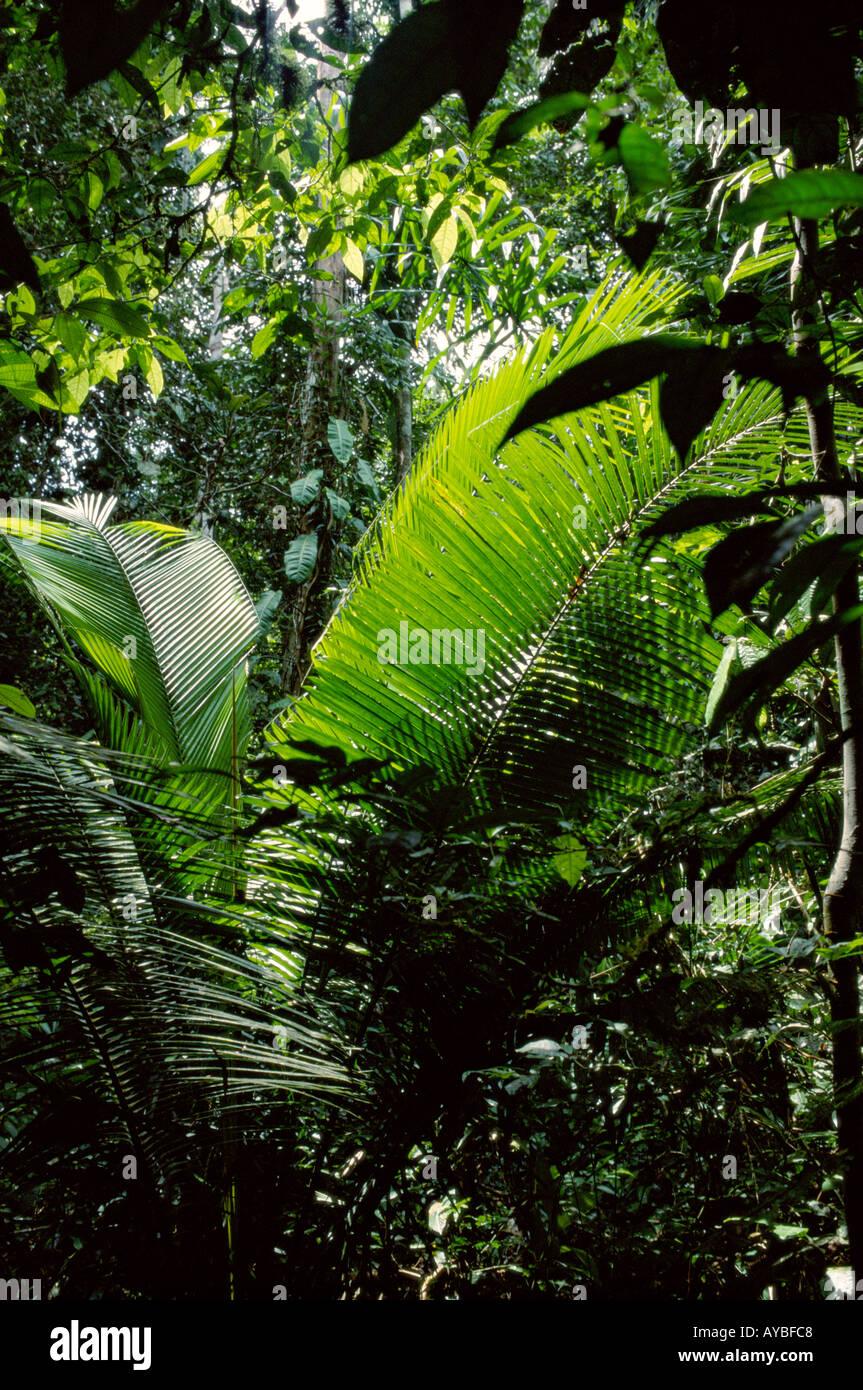 Tropical Rain Forest in Amazon Region Dept Loreto Peru South America palm is Attalea sp - Stock Image