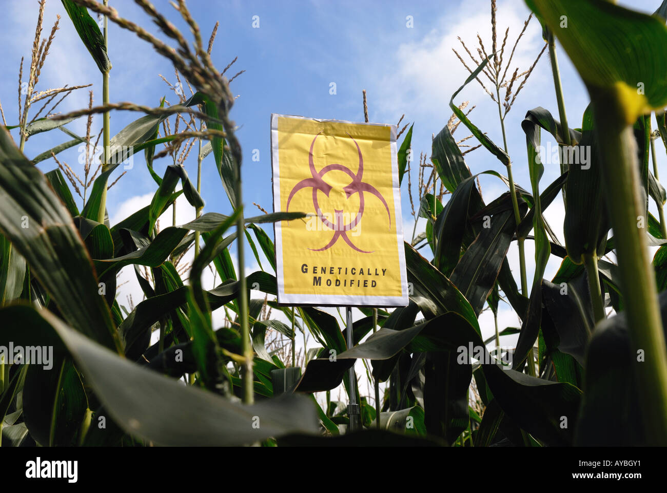 GM crops biohazard warning maize - Stock Image