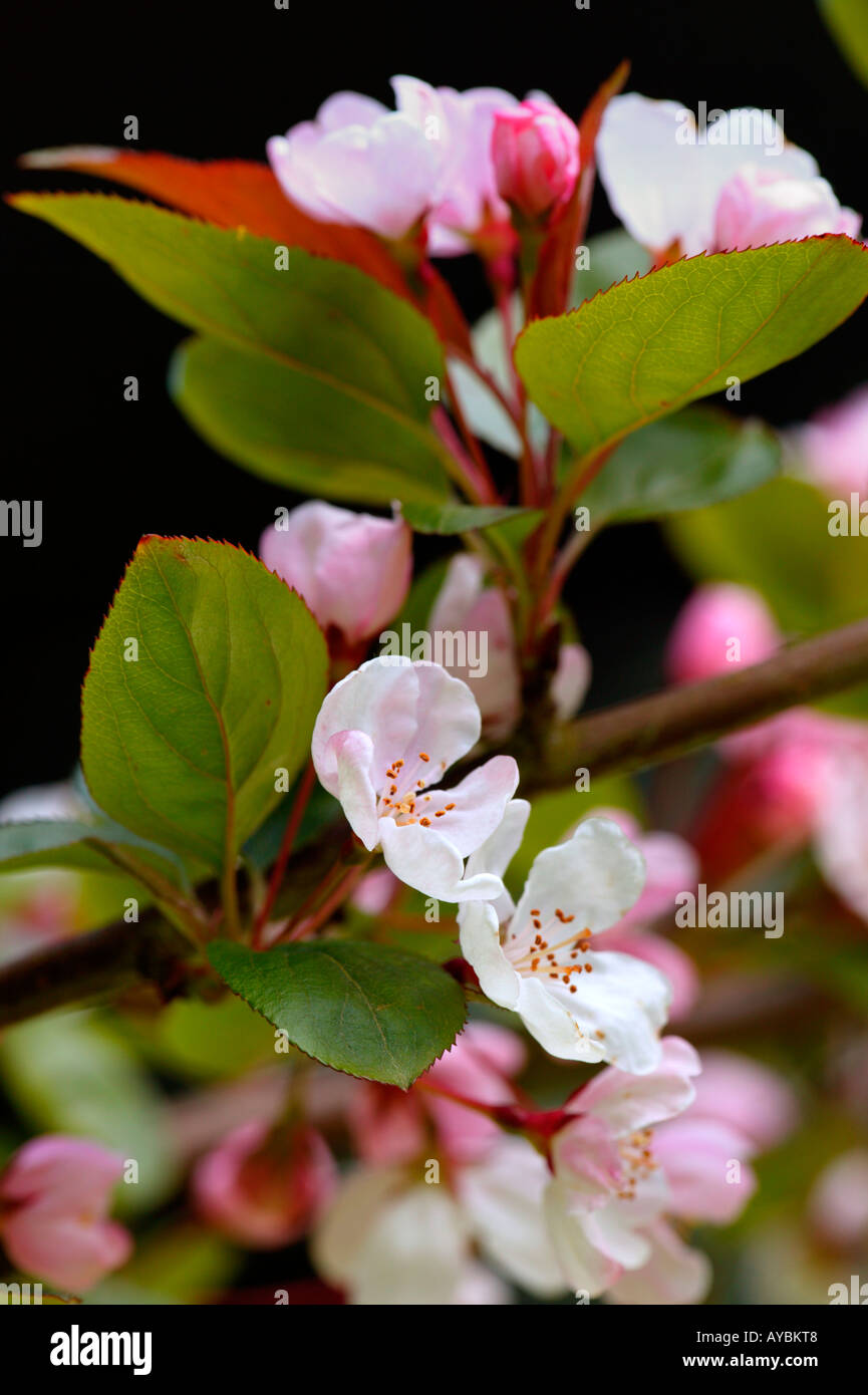 Crab Apple Blossom Close Up Uk Stock Photos Crab Apple Blossom