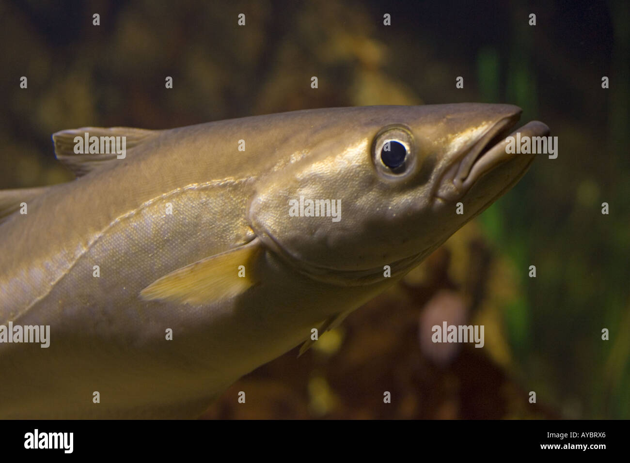 Head of Pollack Pollachius pollachius a member of the cod family Aquariumgalicia Reboredo Galicia Spain - Stock Image