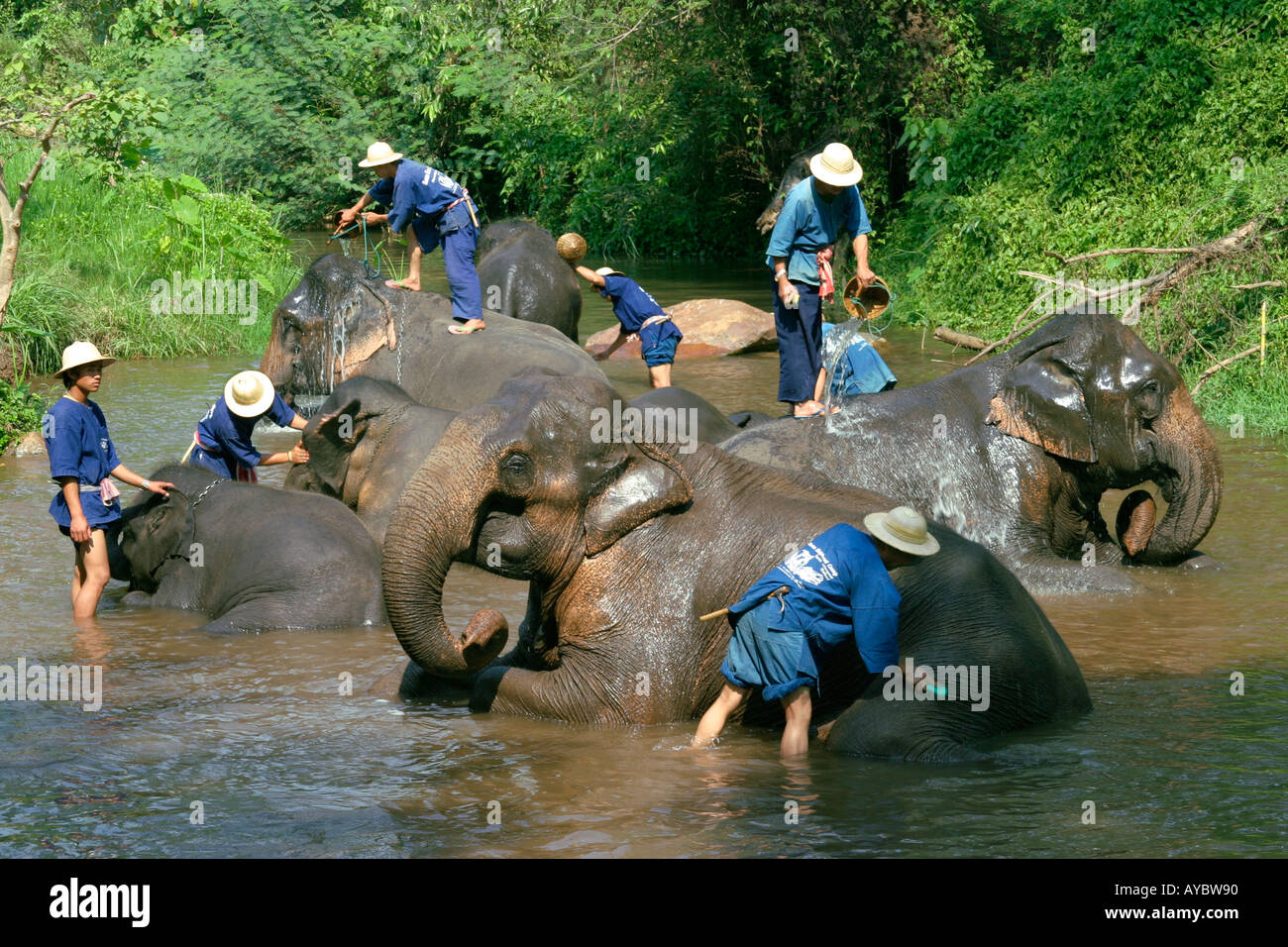 Mahouts washing their elephants in river, early morning at Mae Sa elephant training camp near Chiang Mai, Northern Thailand. - Stock Image